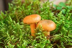 Two Saffron milk mushrooms in moss. Lactarius delicious mushroom closeup. Forest mushroom. SOFT focus - Image