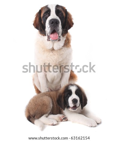Two Saint Bernard Puppies Together on a White Background