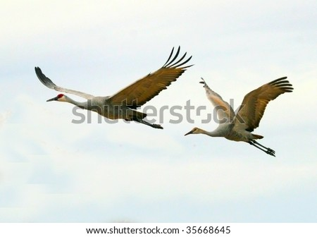 Two sandhill cranes (Grus canandensis) fly overhead against a pale sky. They are one of the largest cranes in North America.