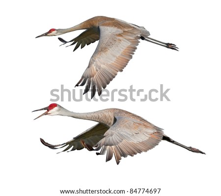 Two Sandhill Cranes, in flight, isolated on white. Latin name - Grus cannadensis. - stock photo