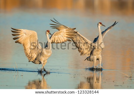 Two sandhill cranes on a pond in Bosque del Apache National Wildlife Refuge near Socorro, New Mexico