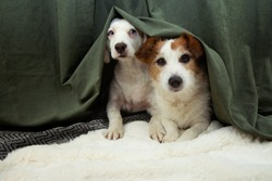 Two scared or afraid puppies dogs hide behind a green curtain because of fireworks, thunderstorm or noise.