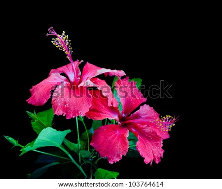 Two Scarlet Red Hibiscus Flowers