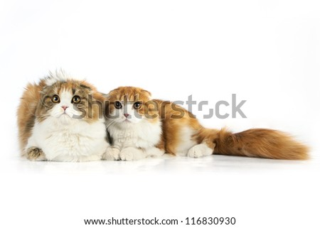 Two Scottish fold cat