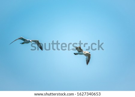 Two Sea gulls in the clear blue sky. The Great black-backed gull, Larus marinus, flying in blue clear sky background,