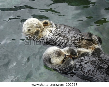 Two sea otters sleeping - stock photo