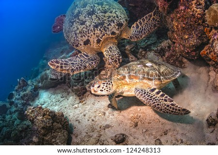 Two Sea Turtles fighting for territory underwater on the coral reef in the ocean