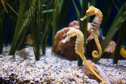 Two seahorse in aquarium