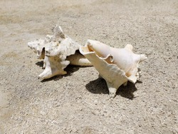 Two seashells, fossil shells on the beach. Beautiful broken conch shell laying in the sand. Caribbean landscape.