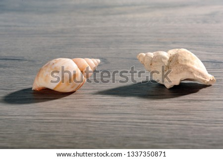 Two seashells on wooden surface. Horizontal photo of a couple of sea snails.  Copy space in upper and lower part of image.