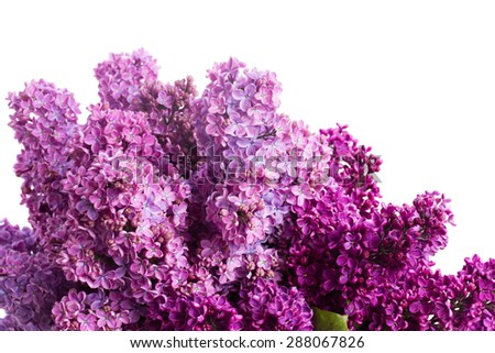 Two shades of Lilac fresh  flowers close up isolated on white background #288067826