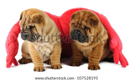 Two shar-pei puppies in studio on white background