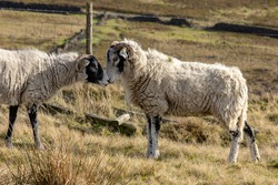 Two sheep affectionately touching their noses looking as though they are kissing