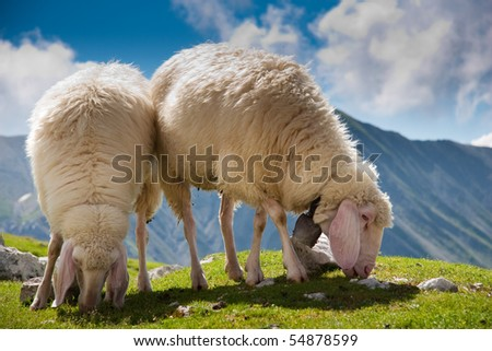 two sheep browsing fresh grass on the top of a hill