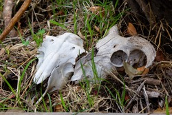 Two sheep dry, white sheep skulls in the grass. These animals died on the farm of nature causes.