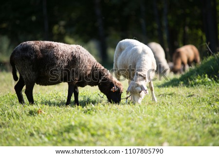 Two sheep graze on the meadow. They eat green grass.