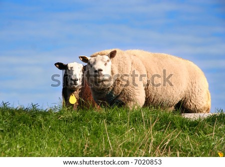 Two sheep in a meadow - stock photo
