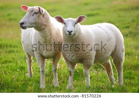 Two sheep in green meadow - stock photo