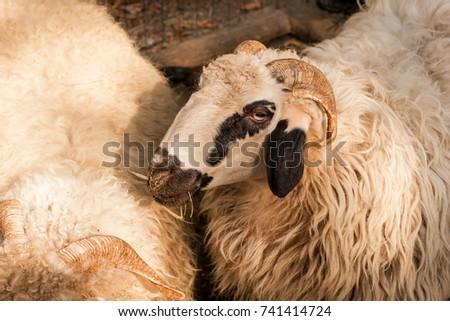 two sheep portrait #741414724