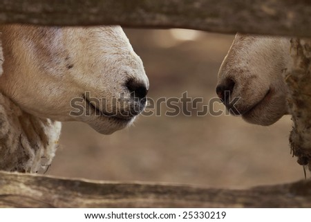 Two sheep's noses behind a wooden fence
