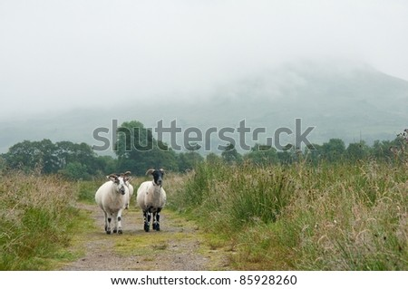 two sheep walking in Scotland
