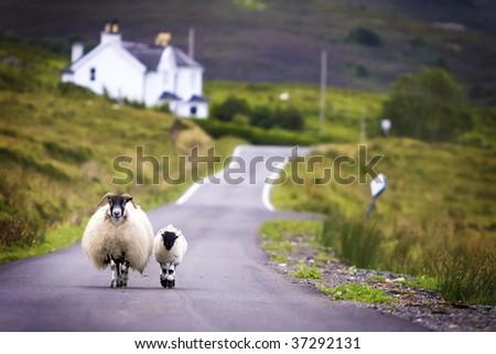 Two sheep walking on street in Scotland