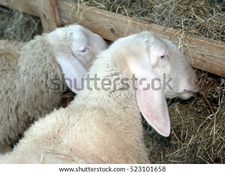 Two sheep with long hair eating hay in a manger #523101658