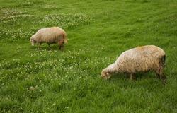 two sheeps grazing in a grassland feeding on grass