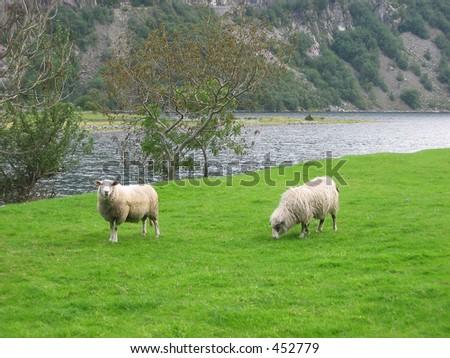 Two sheeps on a field