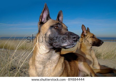 two shepherd dogs on the beach