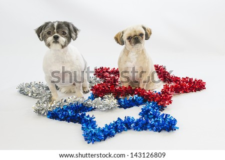 Two shih tzu dogs sit in stars celebrating patriotic holidays like Fourth of July