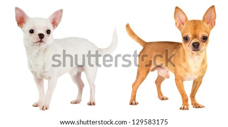 two short-haired chihuahua on white background