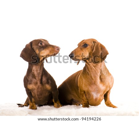 Two short haired Dachshund Dogs isolated over white background