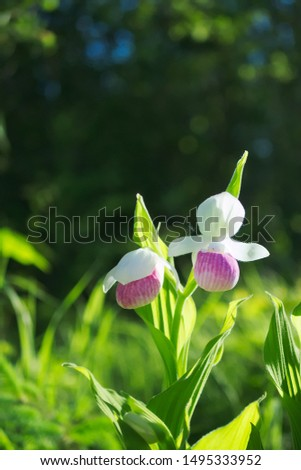 Two Showy Lady's-slippers, Cypripedium reginae, also known as Pink-and-white Lady's-slipper or the Queen's Lady's-slipper. Official Minnesota State Flower - portrait of native beautiful blossoms. #1495333952