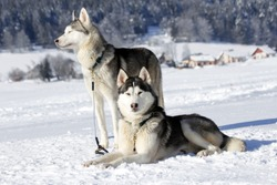 Two Siberian huskies, one husky lying in the snow and the other standing