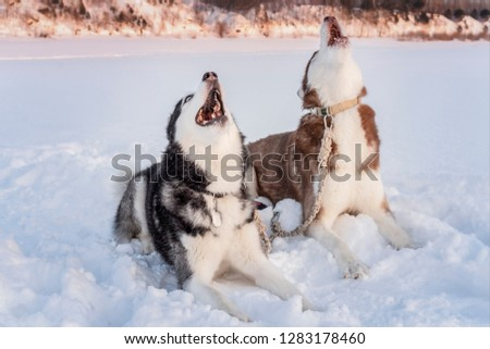 Two siberian husky dogs howls raising his muzzles up. Howling on winter sunset landscape.