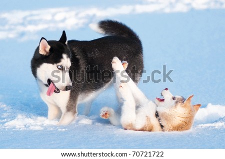 Two siberian husky playing on snow
