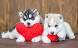 Two siberian husky puppies lie with red hearts on wooden background