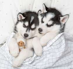 Two Siberian Husky puppies sleep together with toy bear on pillow under blanket at home. Top view
