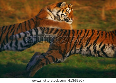Two Siberian tigers chasing each other in the early evening light