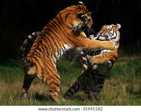 Two Siberian Tigers in fight with  each other