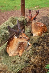 Two sika deer also known as spotted deer resting near feeder with hay.
