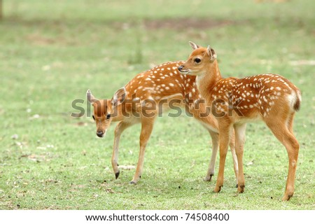 two sika deer fawn stand on grass
