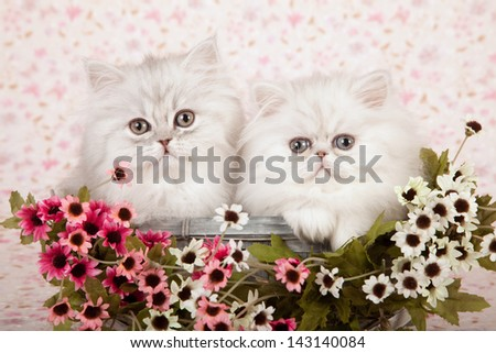 Two Silver Chinchilla Persian kittens sitting in blue basket with pink and white small flowers on floral background