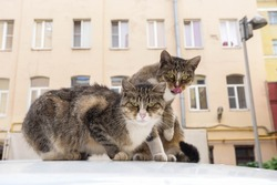 two similar stray cats sit on the roof of a car against the background of a multi-storey building and stare intently at the camera, Saint Petersburg