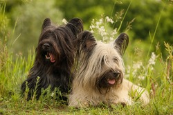 Two Skye Terriers in the summer grass