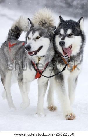 two sled dog huskys in harness during race on snow in winter
