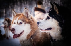 Two sled dogs of the Husky breed, close-up. Sled Dog head, vignetting and shadows.