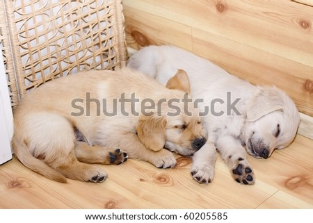 Two sleeping golden retriever puppies