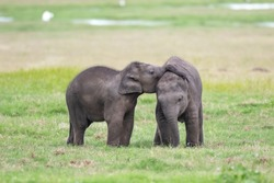 Two small baby elephants playing on green grassy land in Srilankan nation park in the evening.